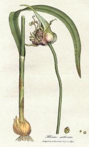 Allium_sativum