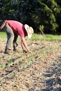 planting scallions